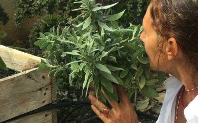 Sàlvia (Salvia sclarea)