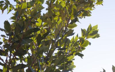 El llaurer o llorer (Laurus nobilis)